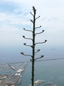 Le agavi in fiore
